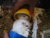 hamster nains blanc winter white