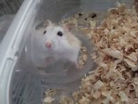 Am looking for a good home for this hamster