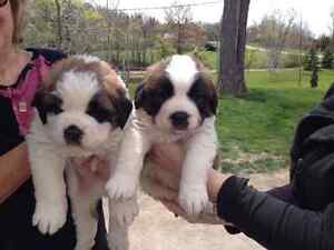 Healthy adorable St. Bernard puppies looking for homes!