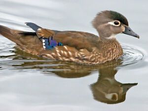 Wood Duck or Mandarin Ducks