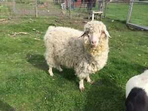 Angora Doe for Sale