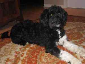 DANJEK PORTUGUESE WATER DOG PUPPIES!