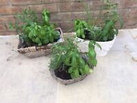 3 Small Herb gardens with Basil, Chives and Mint. Collect from Fulham
