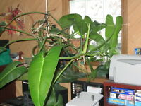 Tropical Vine Plant