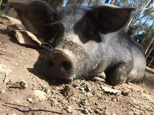 piglets for sale Kuranda Tablelands Preview