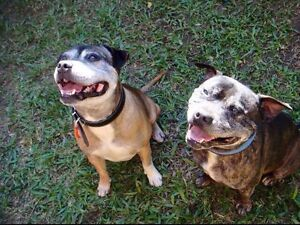 Diesel & Whisky - Male Staffy Currumbin Gold Coast South Preview
