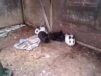 Free Lop Eared Bunnies