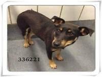 Khalua is a spayed 2 year old, female, Min Pinscher who weighs