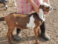 Purebred Nubian breeding bucks (goats) - $300 EACH