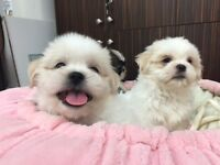 TOY SHIH TZU PUPPIES READY TO NEW HOME