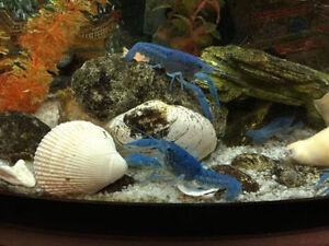 Beautiful Freshwater Blue Lobsters