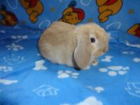 Beautiful Purebreed Holland Lop Bunny For Sale