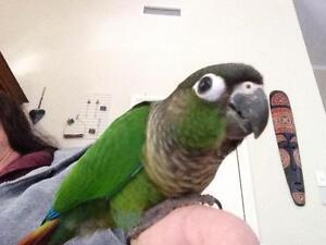 Tame conure plus cage Helensvale Gold Coast North Preview