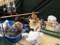 Silkie chickens