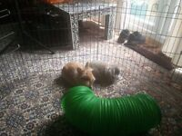 2 beautiful lion head rabbits