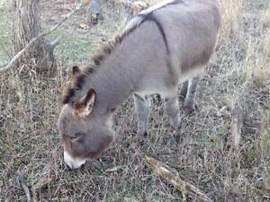 Mini Donkey and a Pony. Regina Regina Area image 3