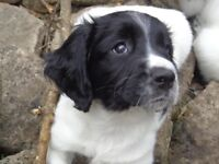 English Springer Spaniel puppy for sale. BH24 Ringwood Hampshire / Dorset