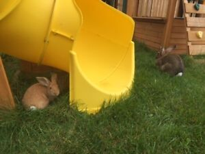 REHOMING ADULT FEMALE FLEMISH GIANT RABBIT / BUNNY APPROX. 2YRS