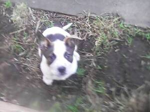 female red Heeler cross staffy 9 weeks old Sorell Sorell Area Preview