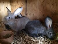 Continental Giant Rabbits for Sale - South Tyneside