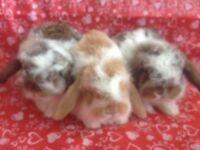Holland Lop Purebred Bunnies