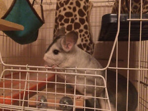 Adorable 8 months old chinchilla with full setup