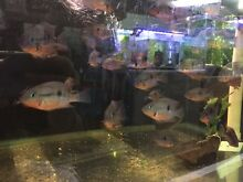 Firemouth cichlids 6cm Cremorne North Sydney Area Preview
