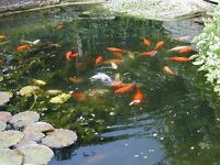 various sizes of pond fish from 4inches some fantails