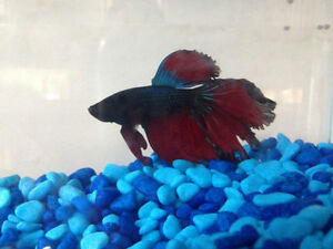 Vends poisson combattant - Betta fish for sale