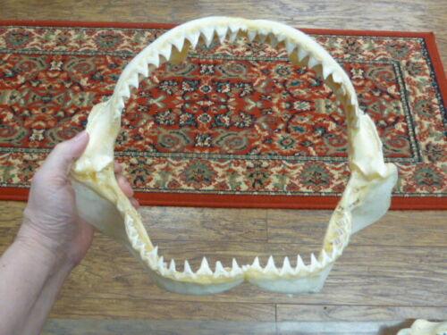 "(sj30-120-21) 14"" BULL SHARK B grade jaw teeth taxidermy love sharks ichthyology"