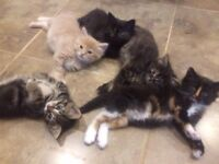 Five adorable part maine coon fluffy kittens for sale