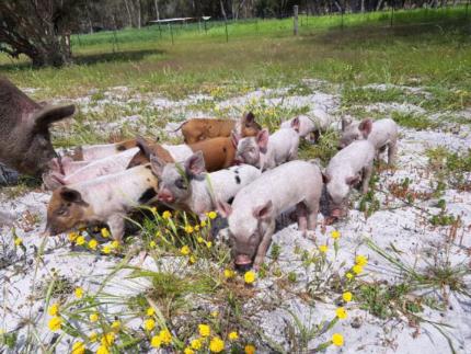 Pigglets For Sale