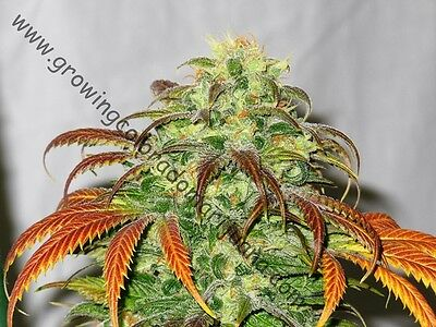 Growing Colorado Marijuana - A book for beginners Grow Your Own legal weed MMJ