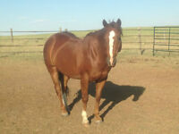 8 Year Old Heel Horse For Sale