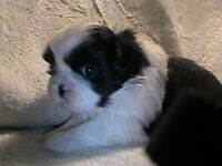 .looking for great homes for my teddy bear shih tzu s