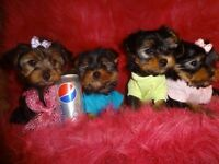 Tcup Yorkies for Sale
