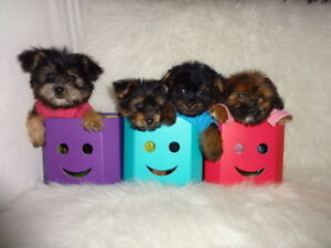 Tiny toy and toy Morkie puppies
