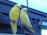 Two Beautiful Yellow Budgies - REDUCED!!