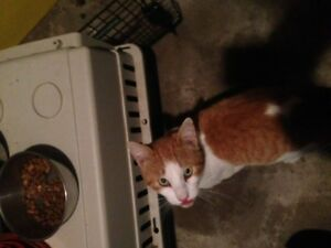 Found adult male calico cat