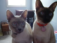 2 Adult Siamese cats