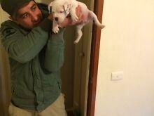 Pure Bred English Staffy Pups Berwick Casey Area Preview