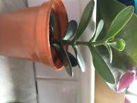 Jade or money plant