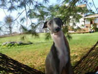 Beautiful Male Italian Greyhound Levrier Italien