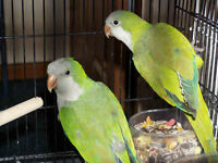 Proven pair of GREEN QUAKERS