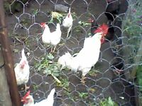 Purebred Leghorn rooster free to a good home.