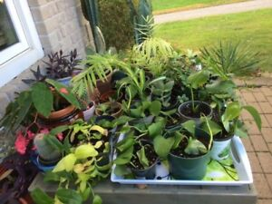 HOUSE PLANTS AND CUTTINGS FOR SALE