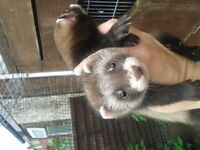 2 ferrets kits for sale in bickershaw wigan call baz on 01942 571976 07873835891 no text