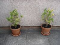 Two Euonymus Plants in Terracotta Pots