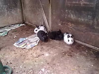 Bunnies (Baby Rabbits)