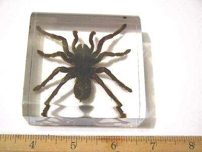 """Tarantula in acrylic paperweight bigger 3x3x1"""" real Golden Earth Tiger Tarantula"""